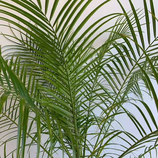10' Phoenix roebelenii (Dwarf Date Palm - Four Seasons Garden Centre