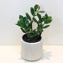 Load image into Gallery viewer, ZZ Plant in a Designer Ceramic Pot