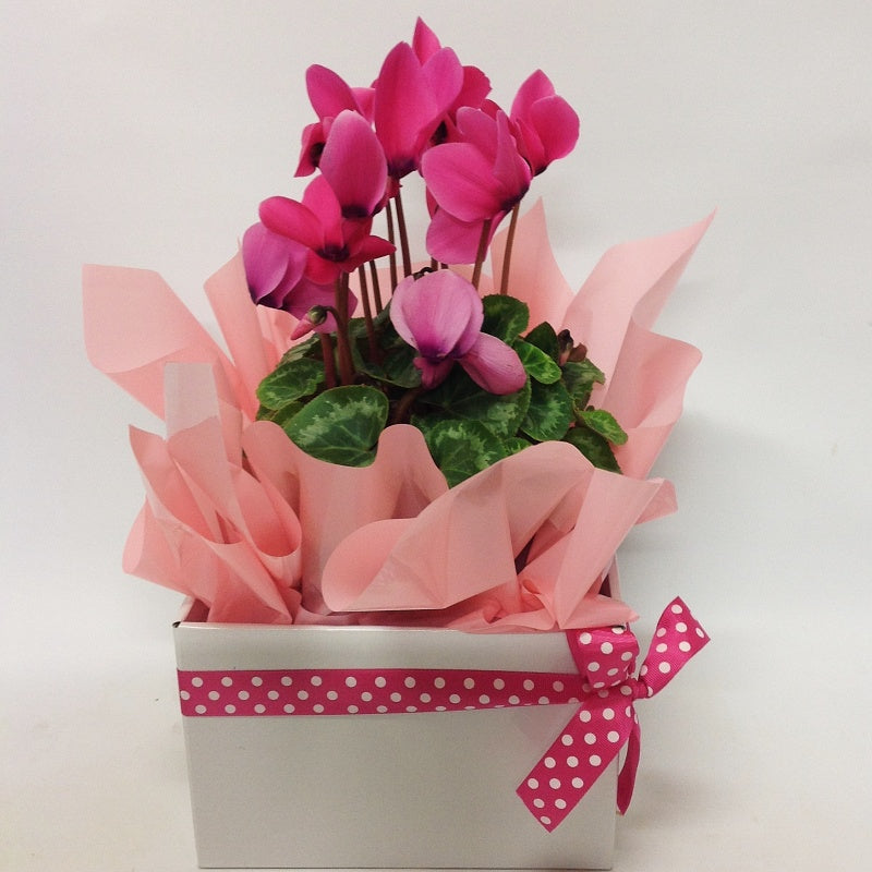Cyclamen in a gift box