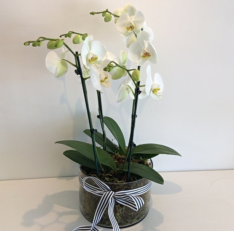 Double Plant White Phalaenopsis Orchid