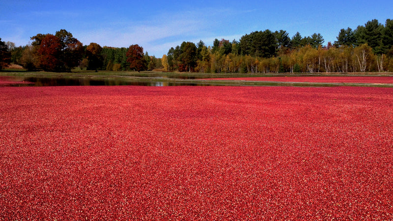 The Cranberry: Small, But Mighty And History In Health & Wellness.