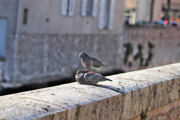 Reproduction pigeons