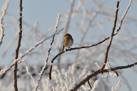 Rouge Gorge Hiver