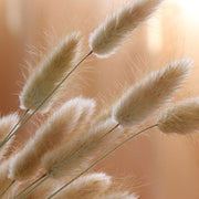 Dried Bunny Tail Grass