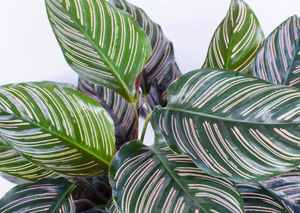Calathea Beauty Star