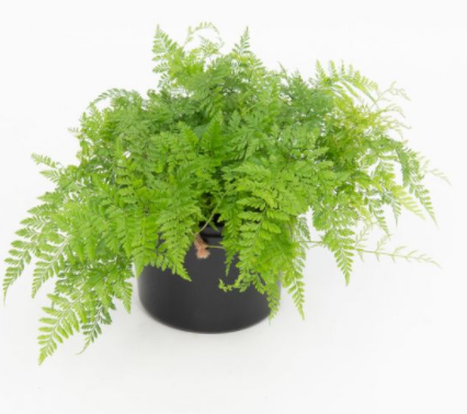 Rabbit Foot Fern (Humata - Hare's Foot) 130mm