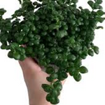 Pilea Bathroom Bubbles 100mm