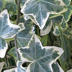 Hedera Helix Variegated Ivy 130mm