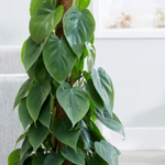Philodendron Cordatum Heart Leaf 300mm TOTEM