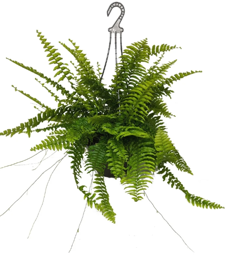 Boston Fern Emerald Queen (Nephrolepsis Obliterara) 200mm HB