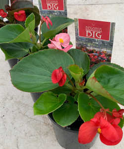 Big Begonia 140mm