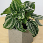 Mini Peperomia Watermelon 120mm