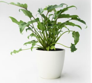 Philodendron Xanadu 170mm