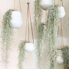 Tillandsia usneoides - old mans beard Hanging Bunch