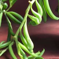 String of Beans 140mm