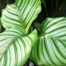 Calathea Orbifolia 130mm