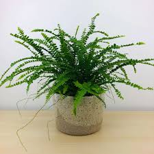 Lemon Butter Fern (Nephrolepis Duffii)