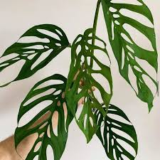 Monstera (Swiss Cheese Plant) Adansonii