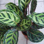 Calathea Jungle Rose