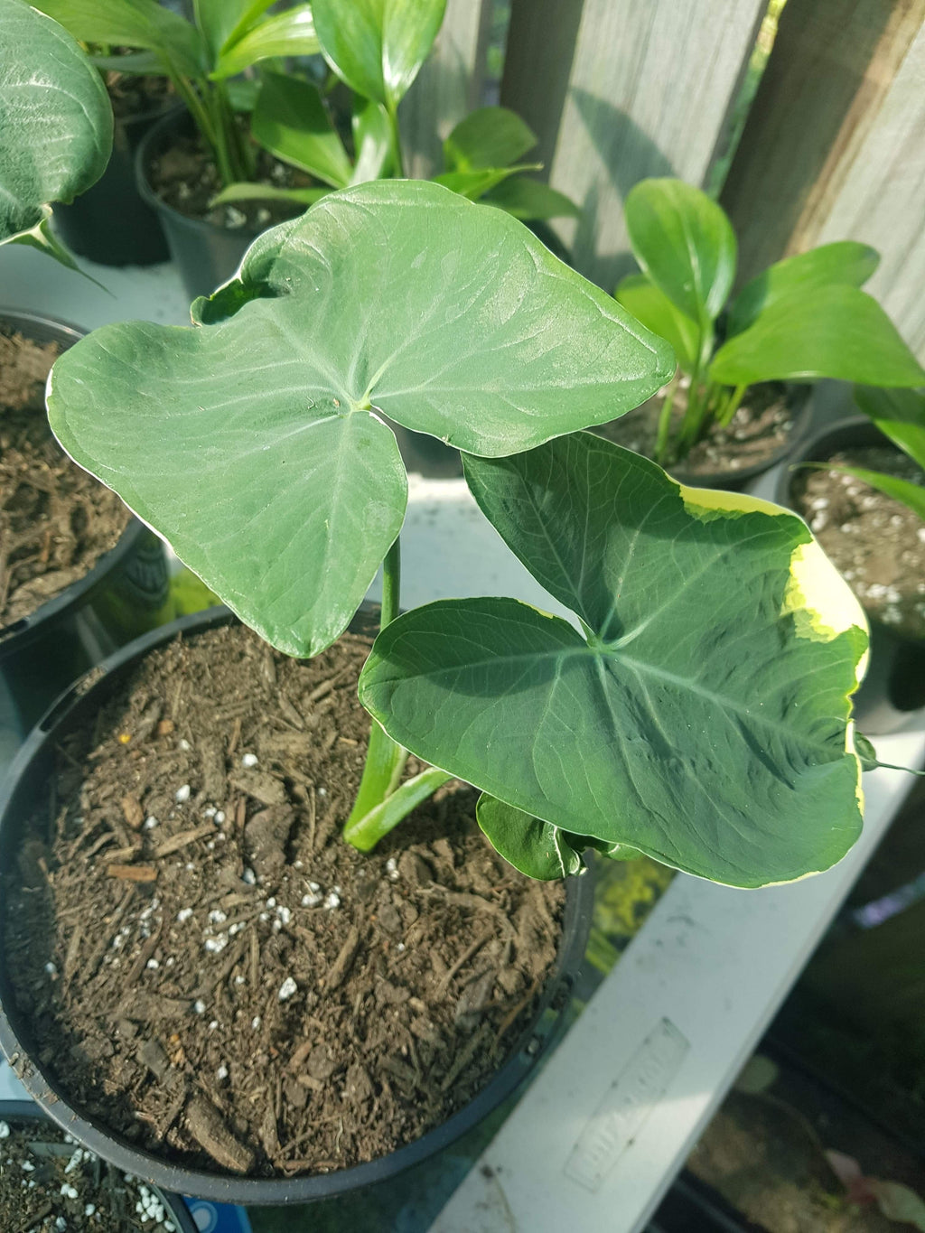 Alocasia Mickey Mouse 140mm