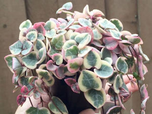 Variegated Chain of Hearts (Ceropegia woodii)