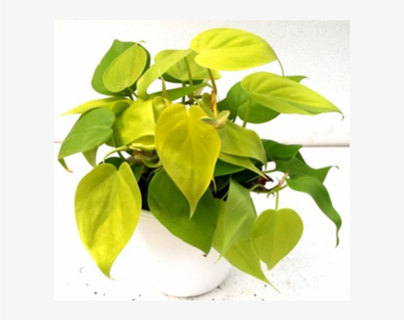 Philodendron Golden Pride 130mm