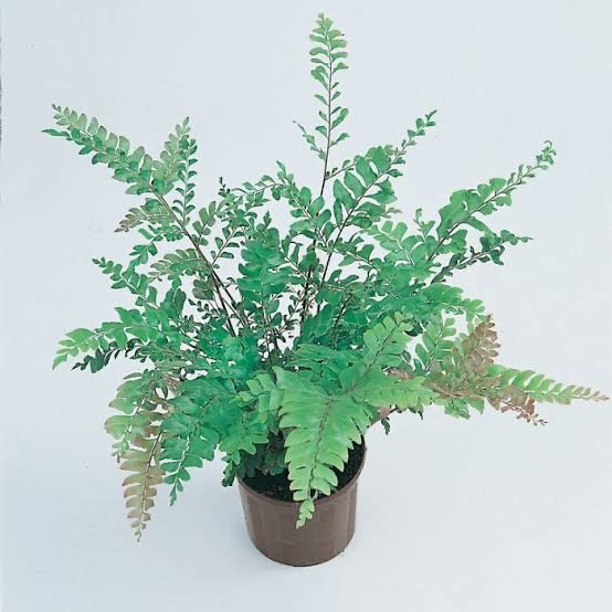 Tree Maidenhair Fern - Mahogany Fern 200mm