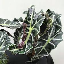 Alocasia African Mask (Polly)