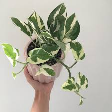 Snow Queen Pothos (Epipremnum Aurea) 130mm