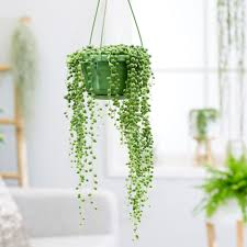 String of Pearls (Senecio rowleyanus)