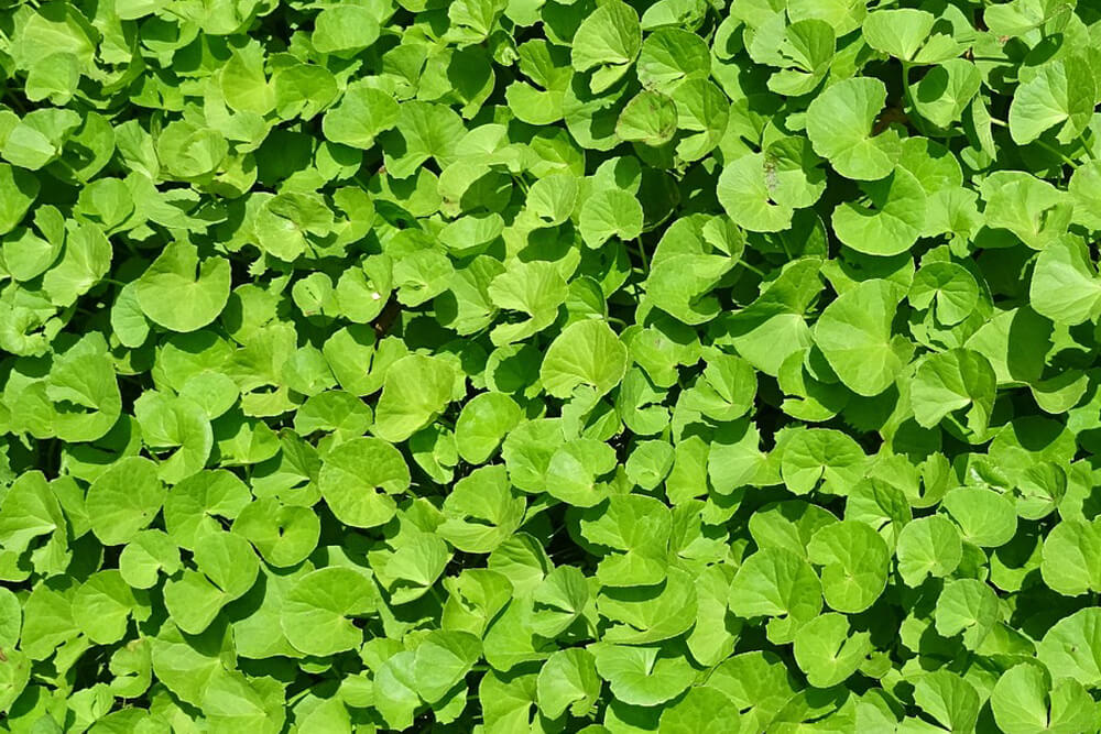 Benefits of Brahmi Herb : Herb of Grace