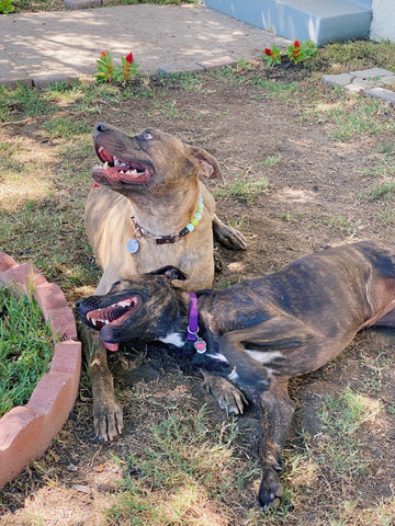 two brindle pit bulls playing together