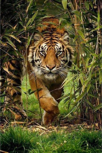 Bengal Tiger - 5D diamond painting kit