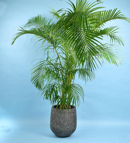 Areca Palm From Tumbleweed Recommend By Sabs Studios