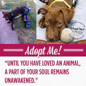 Adopt-A-Dog Month | Chariot | Love-A-Bull