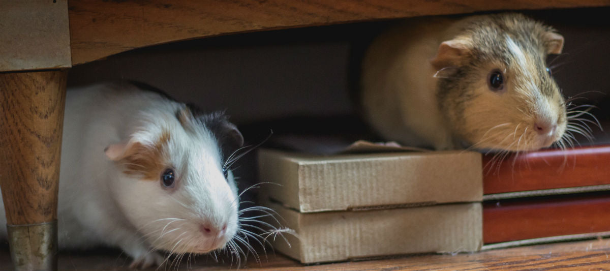 Guinea Pigs Together