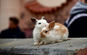 Caring for Rabbits Image Two