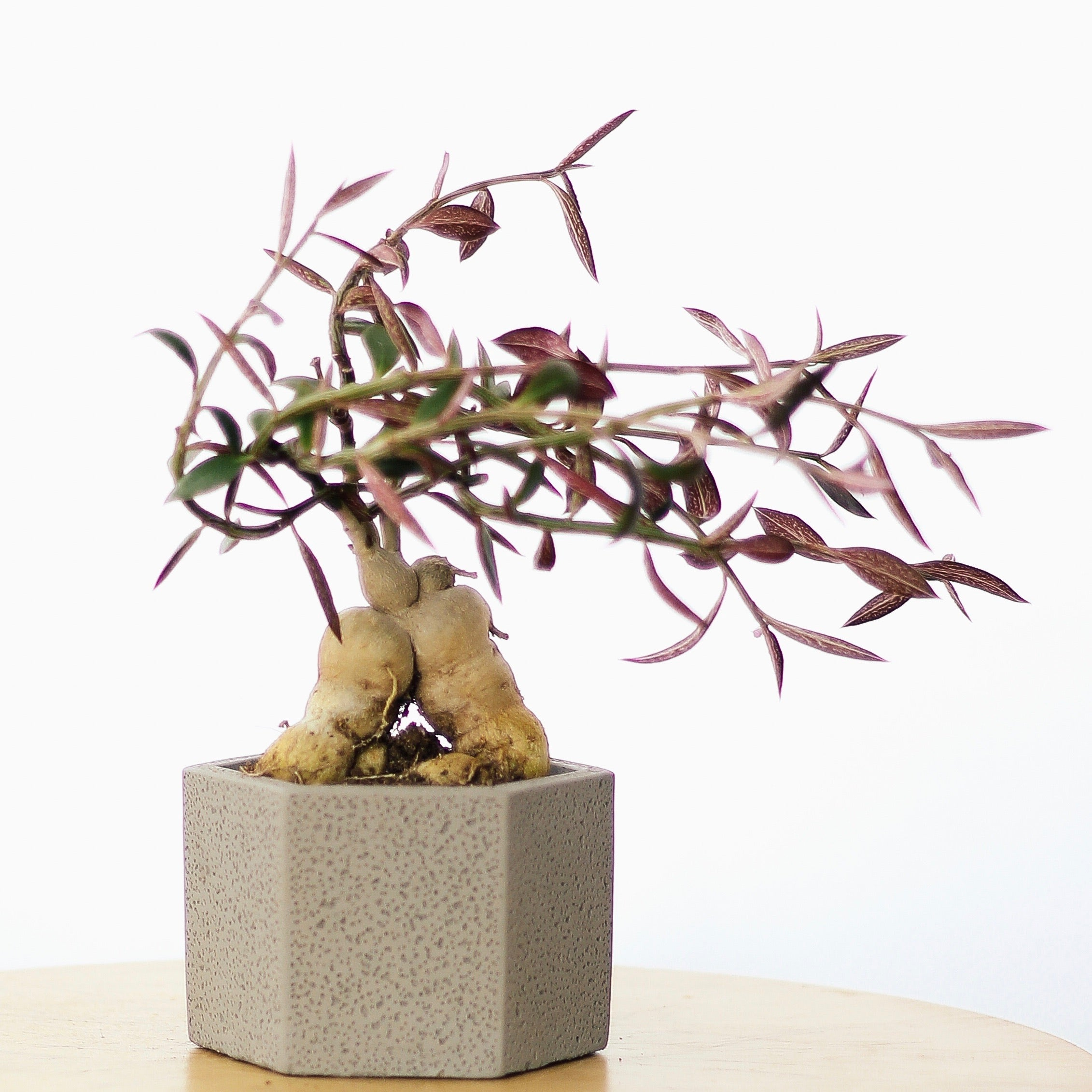 BONSAI SHAPED PLANT