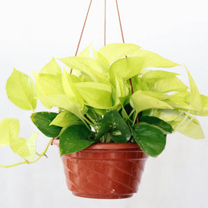 LIGHT GREEN PHILODENDRON