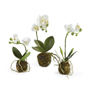 Phalaenopsis Orchid Drop-Ins, Set of 3