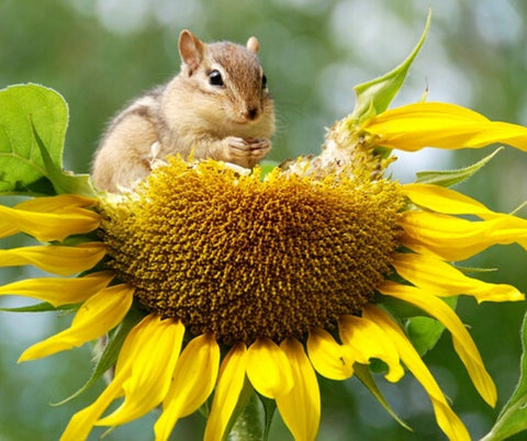 Sunflower with squirrel