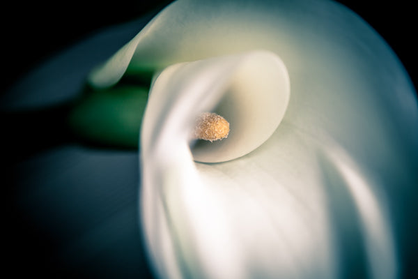 Gorgeous close up of a Calla Lily.