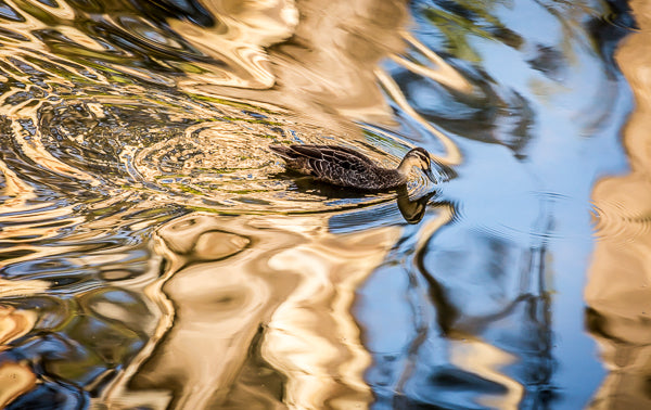 Pacific Black Duck paddling across a pond of golden reflections.