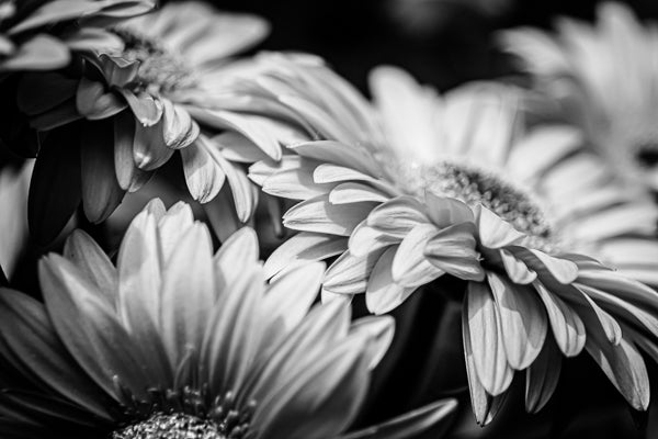A closeup view of Gerbera in black and white.