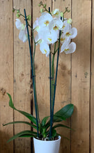 Load image into Gallery viewer, Phalaenopsis Orchid