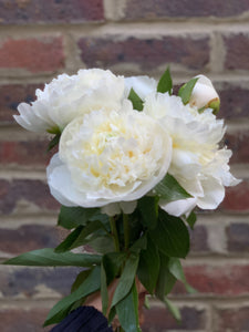 Our pick of the peonies
