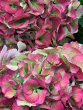 Load image into Gallery viewer, Autumnal hydrangea