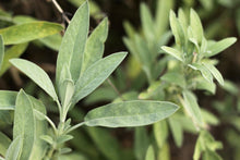 Load image into Gallery viewer, Organic Non-GMO Sage, Garden