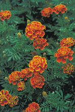 Load image into Gallery viewer, Organic Non-GMO French Marigold.