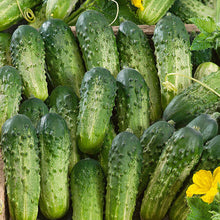 Load image into Gallery viewer, Organic Non-GMO Sumter Pickling Cucumber Seeds